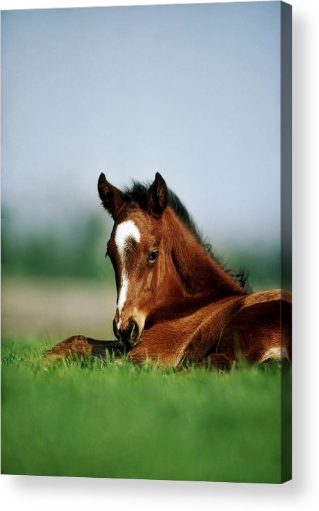 Close Up Acrylic Print featuring the photograph Thoroughbred Foal, Ireland by The Irish Image Collection