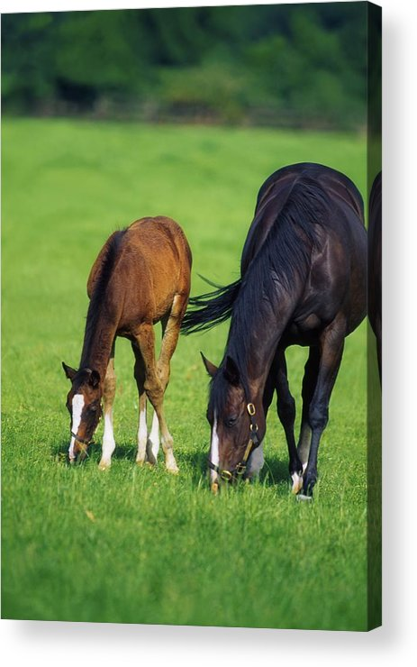 Color Image Acrylic Print featuring the photograph Mare And Foal Thoroughbred Horses by The Irish Image Collection
