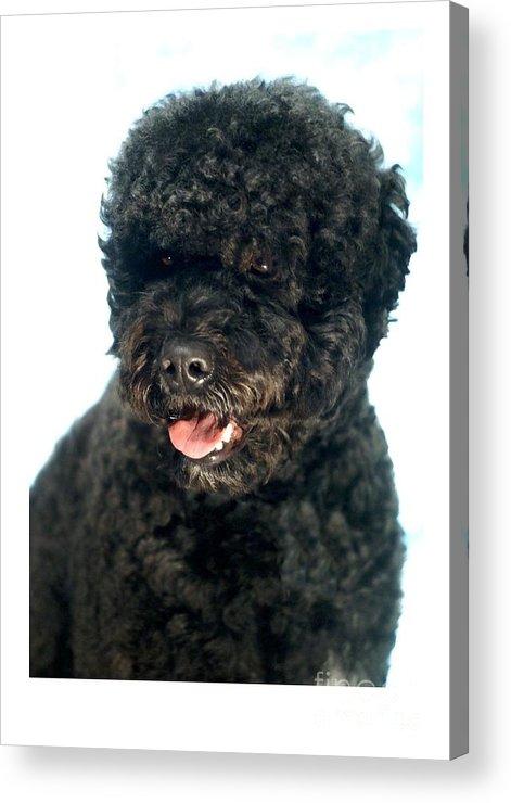 Portugese Water Dog Digital Art Acrylic Print featuring the digital art Portugese Water Dog 966 by Larry Matthews