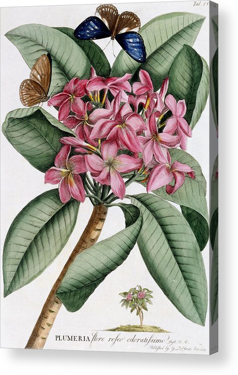 Text Acrylic Print featuring the painting Plumeria by Georg Dionysius Ehret