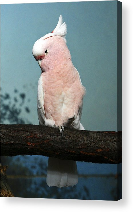 Bird Acrylic Print featuring the photograph Pretty In Pink by Marilyn Hunt