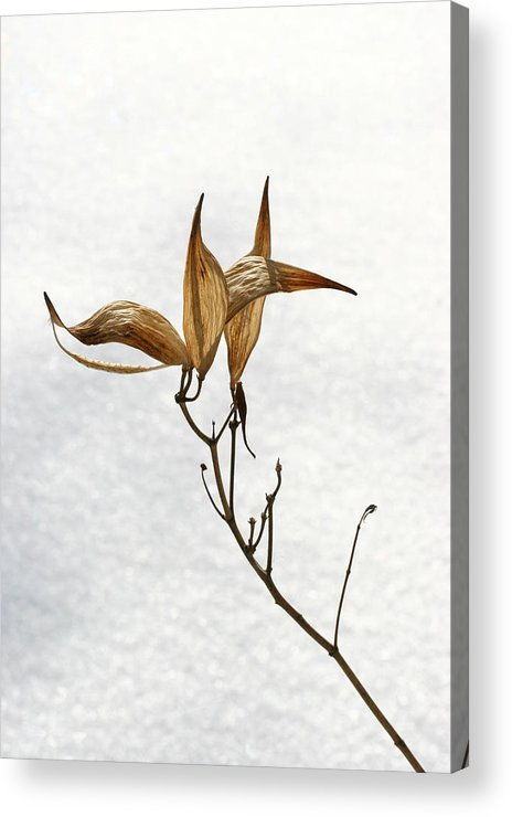 Flower Acrylic Print featuring the photograph After Setting Seed by Steve Augustin