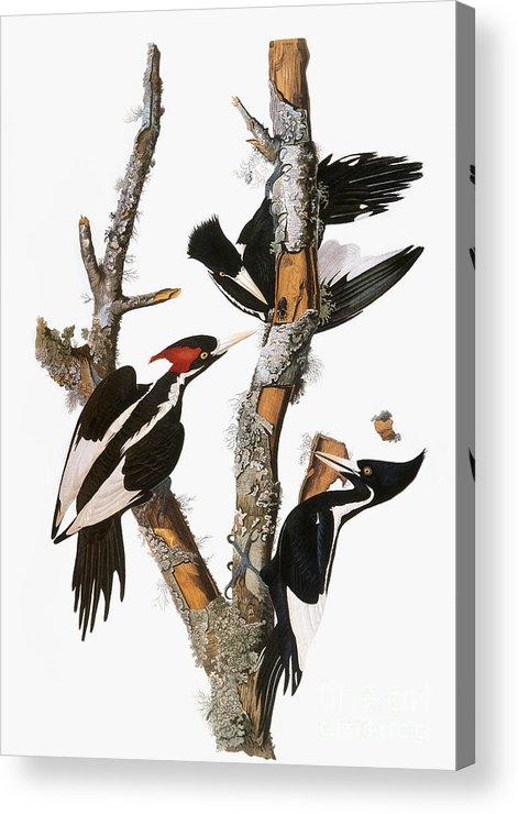 1838 Acrylic Print featuring the photograph Audubon: Woodpecker by Granger