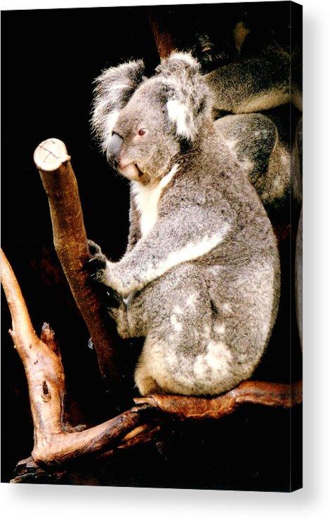 Koala Acrylic Print featuring the photograph Blue Mountains Koala by Darren Stein