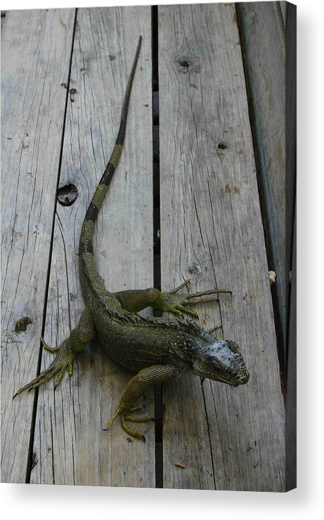 Iguana Acrylic Print featuring the photograph Iguana At The Ready by Tammy Hankins