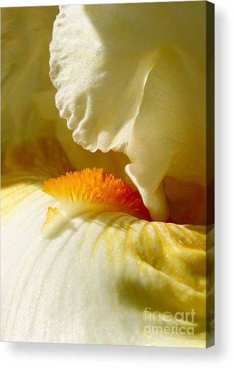 Iris Acrylic Print featuring the photograph Iris With Touch Of Orange by Steve Augustin