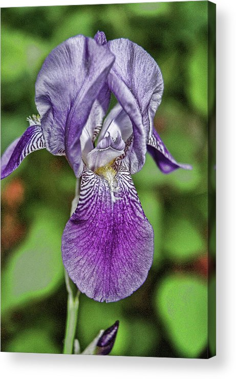 Iris Acrylic Print featuring the photograph Purple Iris by Ginette Thibault