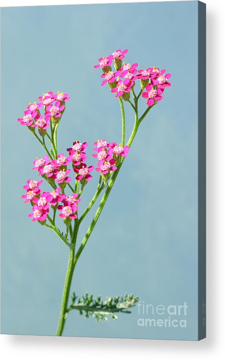 Flowers Acrylic Print featuring the photograph Red Yarrow by Steve Augustin