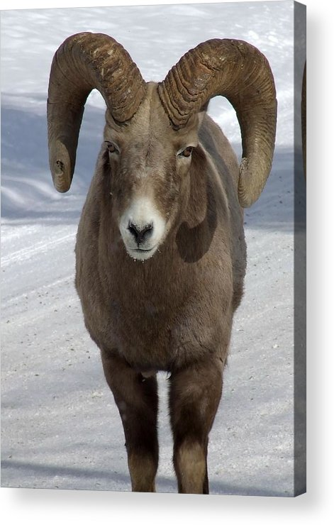 Bighorn Ram Acrylic Print featuring the photograph Rocky Mountain Ram In Winter by Tiffany Vest