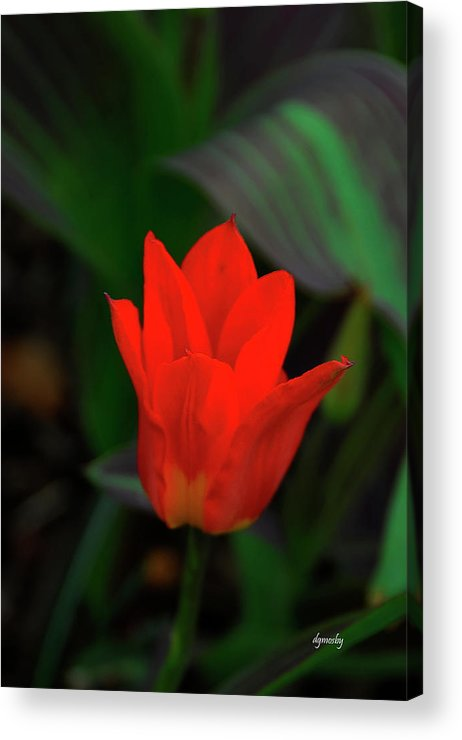 Red Tulip Acrylic Print featuring the photograph Tulip 0058 by David Mosby