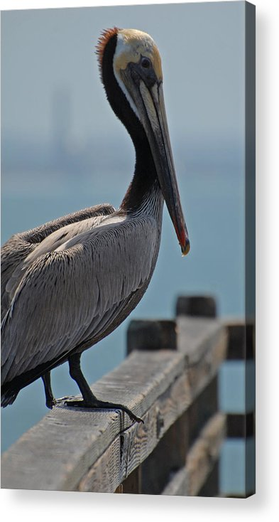 Pelican Acrylic Print featuring the photograph Posing Pelican by Jean Booth