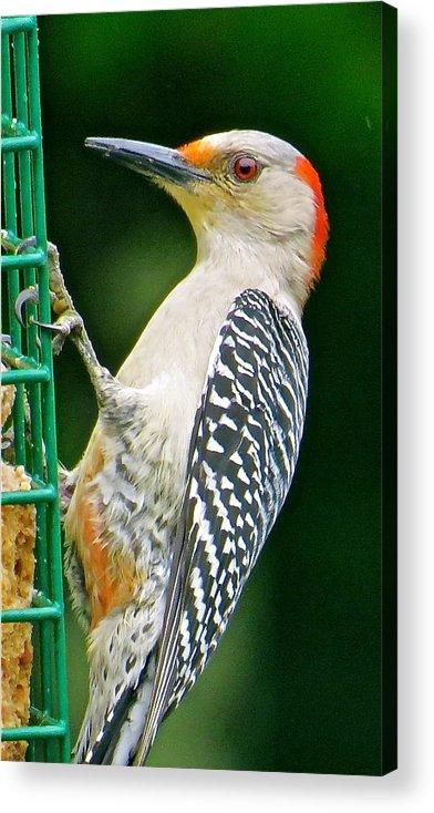 Woodpecker Acrylic Print featuring the photograph Woodpecker 106 by Patsy Pratt