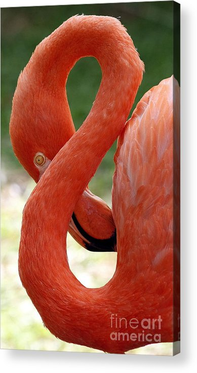 Flamingo Acrylic Print featuring the photograph Flamingo Eight by Beth Phifer