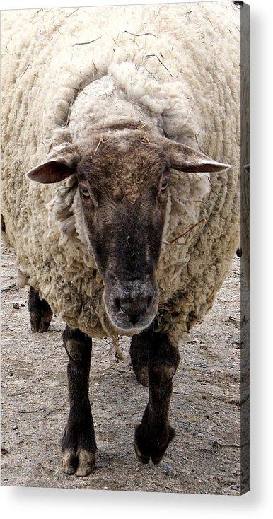 Sheep Acrylic Print featuring the photograph Baa Baa by Jean Haynes