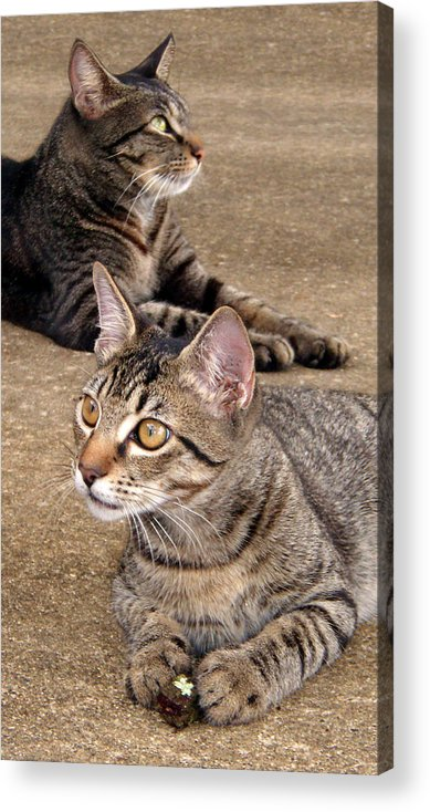 Tabby Acrylic Print featuring the photograph Two Tabby Cats by Nicole I Hamilton
