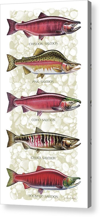 Jon Q Wright Acrylic Print featuring the painting Five Salmon Species by JQ Licensing