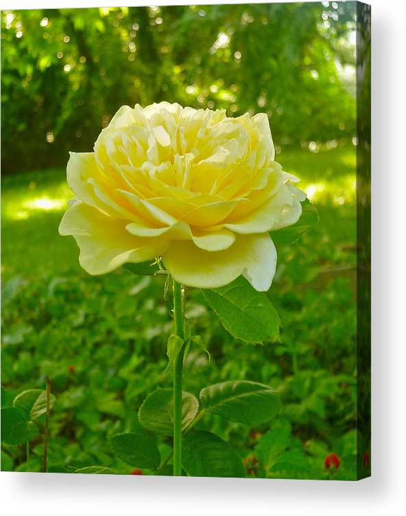 Beautiful Yellow Rose Acrylic Print featuring the photograph Amy's Texas Yellow Rose by Elena Runkle