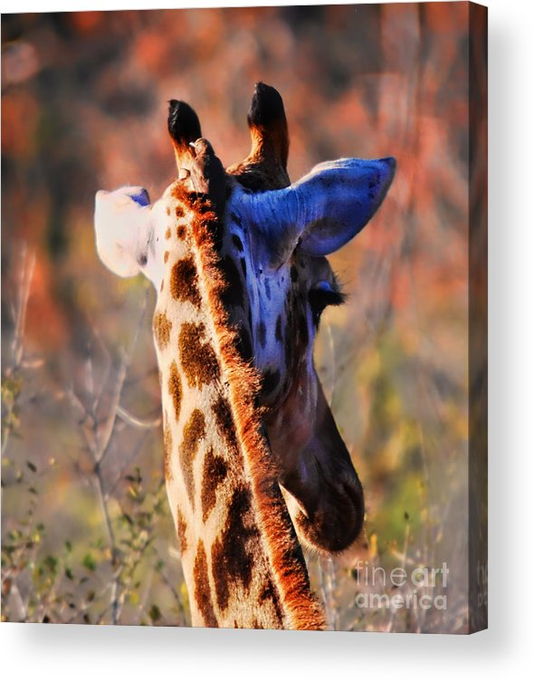 Alexandra Jordankova Acrylic Print featuring the photograph Bashful Giraffe by Alexandra Jordankova