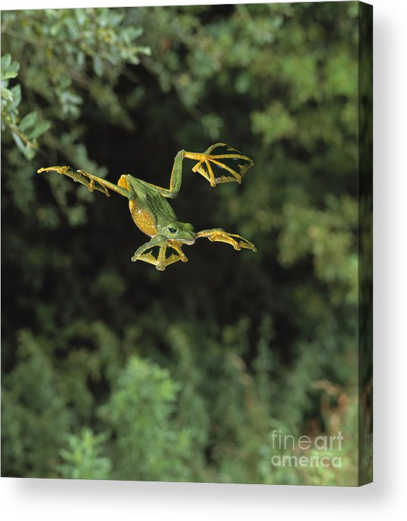 Animal Acrylic Print featuring the photograph Wallaces Flying Frog by Stephen Dalton