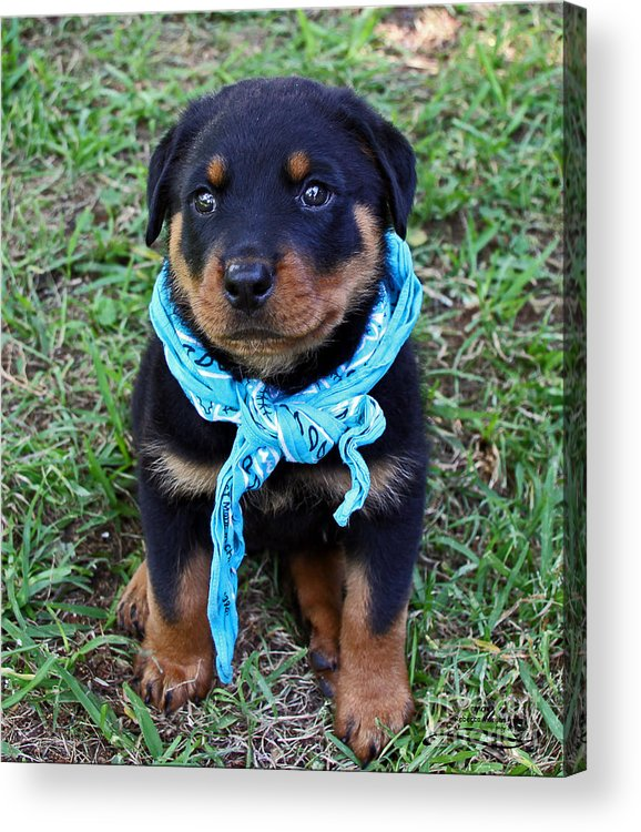 Rottweiler Acrylic Print featuring the photograph Maxx by Rebecca Morgan