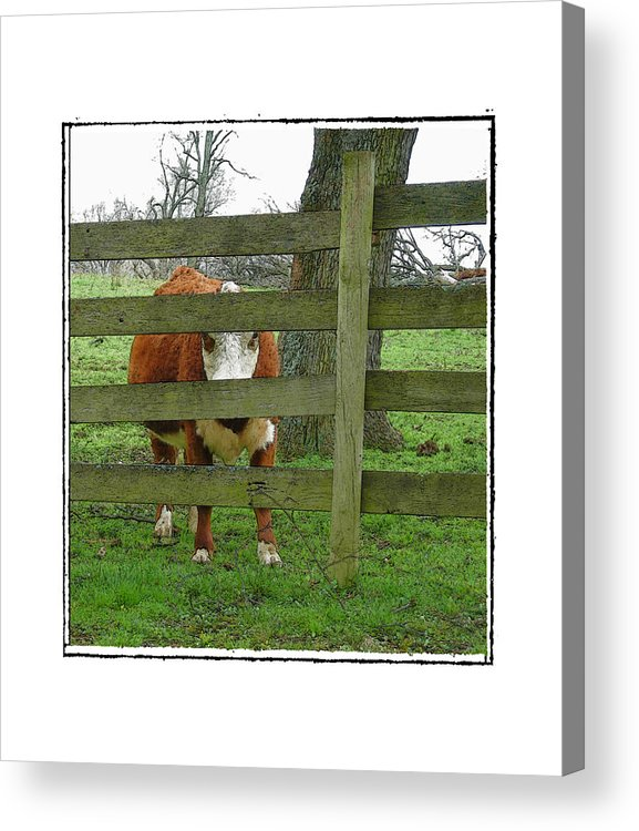 Cow Acrylic Print featuring the photograph LZ by Robert Boyette