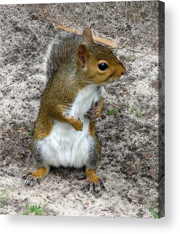 Squirrel Acrylic Print featuring the photograph Squirrel 3 by J M Farris Photography