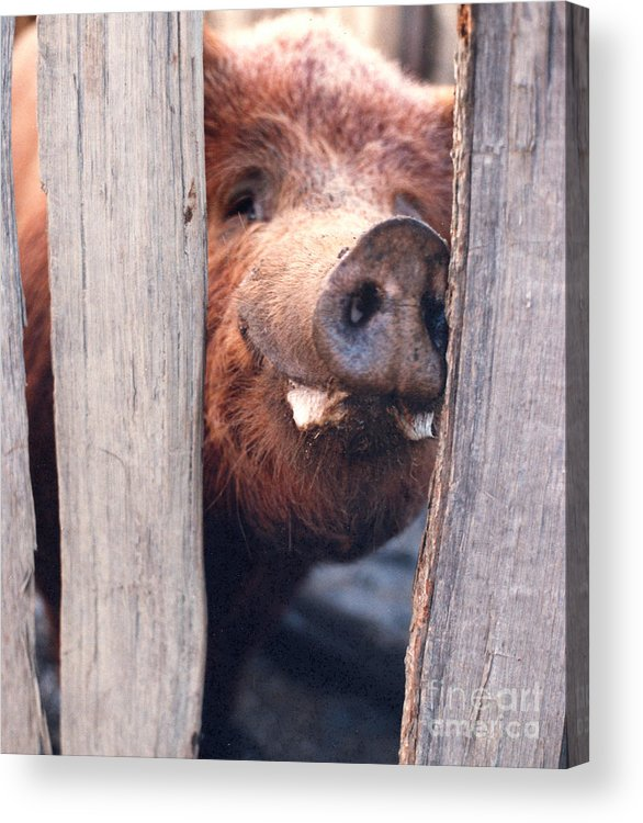 Farm Acrylic Print featuring the photograph Whats New On Your Side Of The Fence by Linda Drown