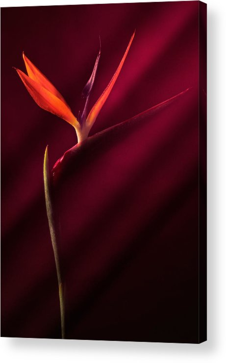 Bird Of Paradise Acrylic Print featuring the photograph Bird Of Paradise 1 by Joseph Gerges