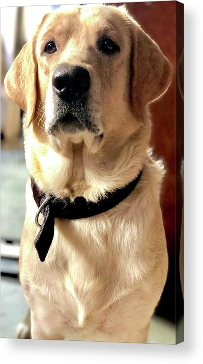 Labrador Dog Acrylic Print featuring the photograph Labrador Dog by Arun Jain