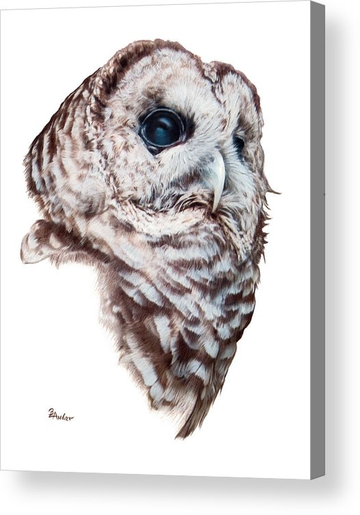 Barred Owl Acrylic Print featuring the drawing Barred Owl by Brent Ander