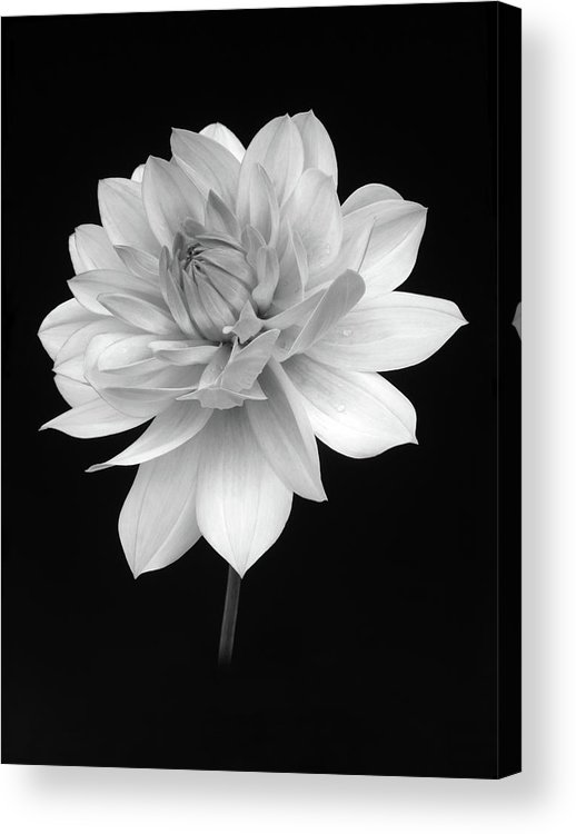 Haslemere Acrylic Print featuring the photograph Dahlia In Gentle Shades Of Grey by Rosemary Calvert