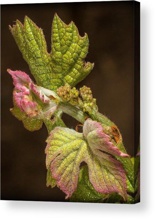 Grape Bud Acrylic Print featuring the photograph Grape Bud Break by Len Romanick