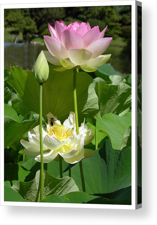 Lotus Acrylic Print featuring the photograph Lotuses in Bloom by John Lautermilch