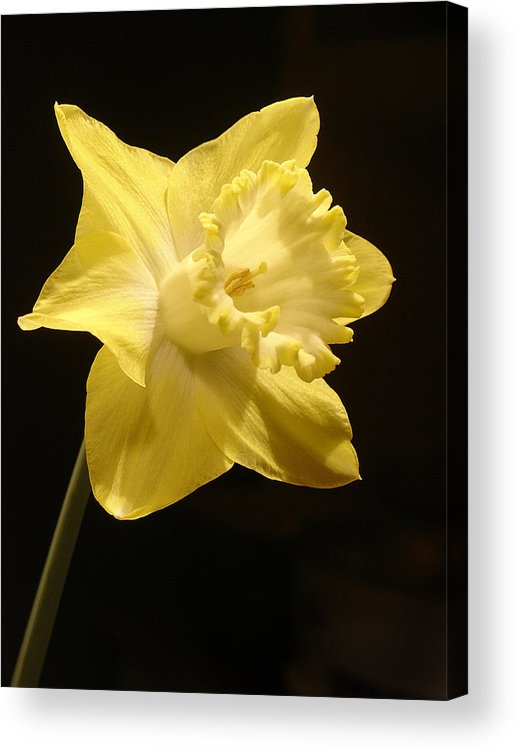 Flower Acrylic Print featuring the photograph Single Daffodil by Steve Karol