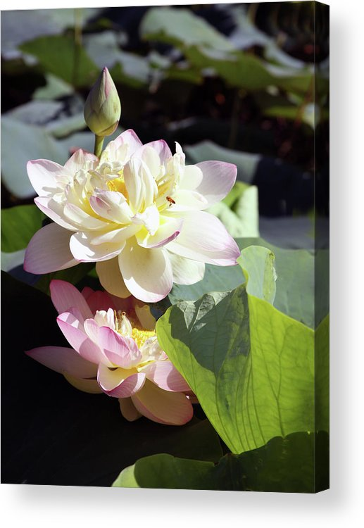 Lotus Acrylic Print featuring the photograph Lotus in Bloom by John Lautermilch