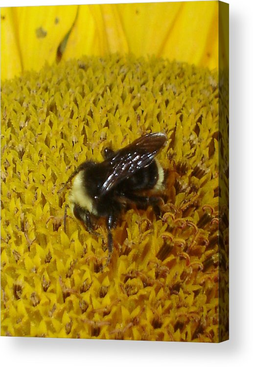 Bee Acrylic Print featuring the photograph Bee on Sunflower 4 by Chandelle Hazen