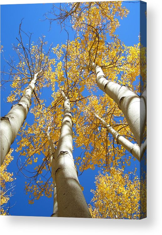 Trees Acrylic Print featuring the photograph Blue and Gold by Brian Anderson