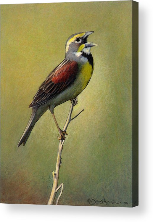 Birds Acrylic Print featuring the drawing Dickcissel Summer Song by Bruce Morrison