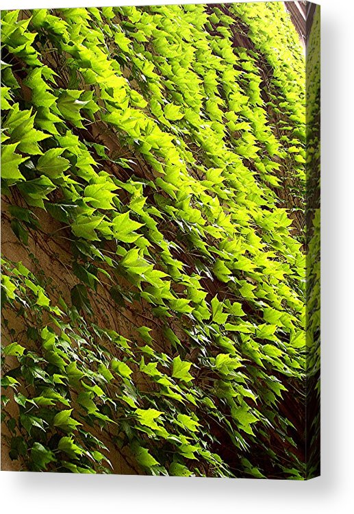 Nature Acrylic Print featuring the photograph Ivy League-Ivy Lines by Caroline Eve Urbania