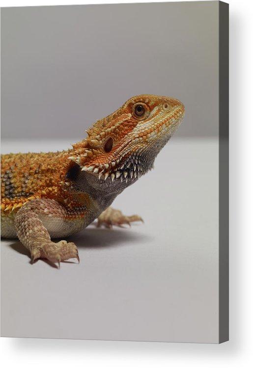 Alertness Acrylic Print featuring the photograph Bearded Dragon by Dan Burn-forti