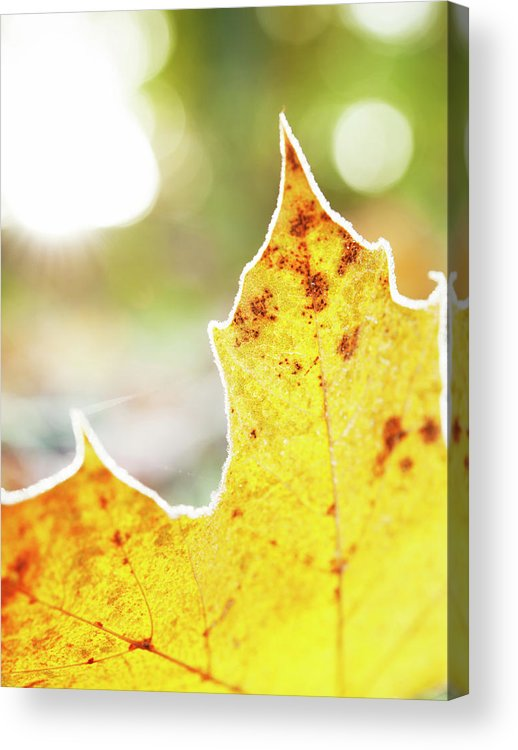 Scenics Acrylic Print featuring the photograph Frost On Autumn Leaf, Detail by Johner Images