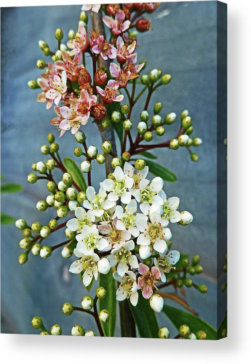 Bud Acrylic Print featuring the photograph Little Star Like Buds by Steve Taylor Photography