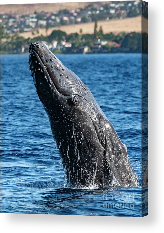 00595515 Acrylic Print featuring the photograph Juvenlie Humpback Breaching by Flip Nicklin