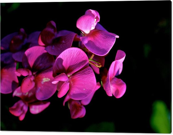 Sweetie Acrylic Print featuring the photograph Sweetie Pea by Tim Rice