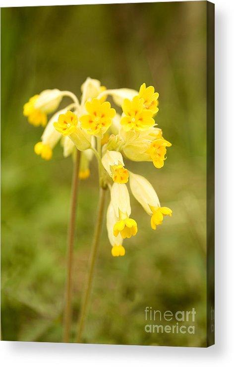 Cowslip Acrylic Print featuring the photograph Cowslip  Primula Veris by Liz Leyden