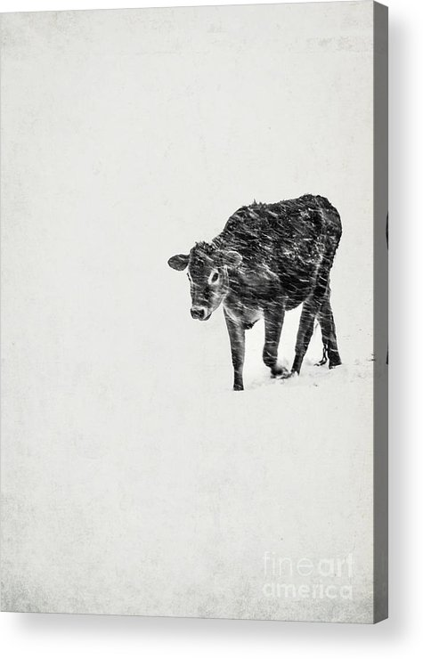 Calf Acrylic Print featuring the photograph Lost Calf Struggling In A Snow Storm by Edward Fielding