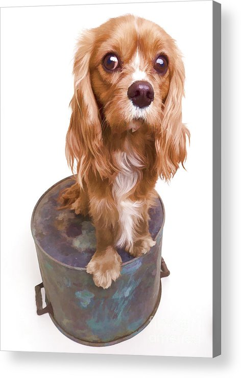 Dog Acrylic Print featuring the photograph King Charles Spaniel Puppy by Edward Fielding