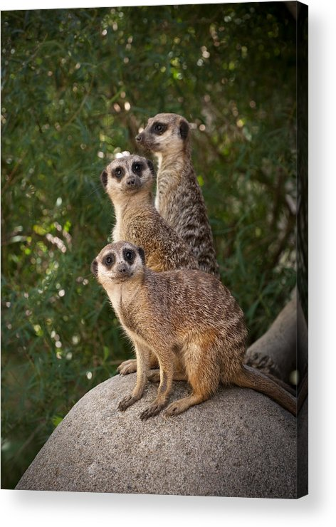 Meerkat Acrylic Print featuring the photograph Meerkat Hill by Chad Davis