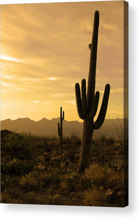 Saguaro National Park Acrylic Print featuring the photograph Saguaros At Sunset by Brian M Lumley
