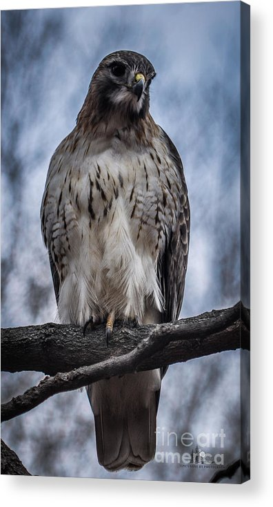Hawk Acrylic Print featuring the photograph Hawk Red Tailed by Ronald Grogan